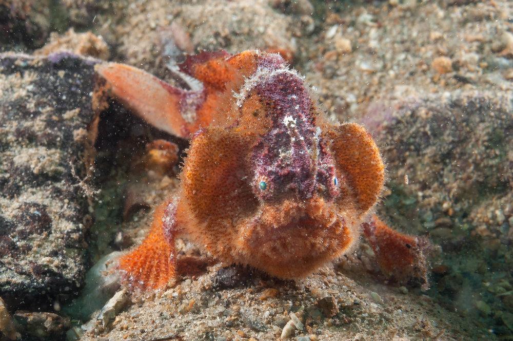 Prickly anglerfish (Echinophryne crassispina)