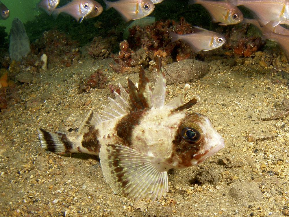 Common gurnard perch (Neosebastes scorpaenoides)