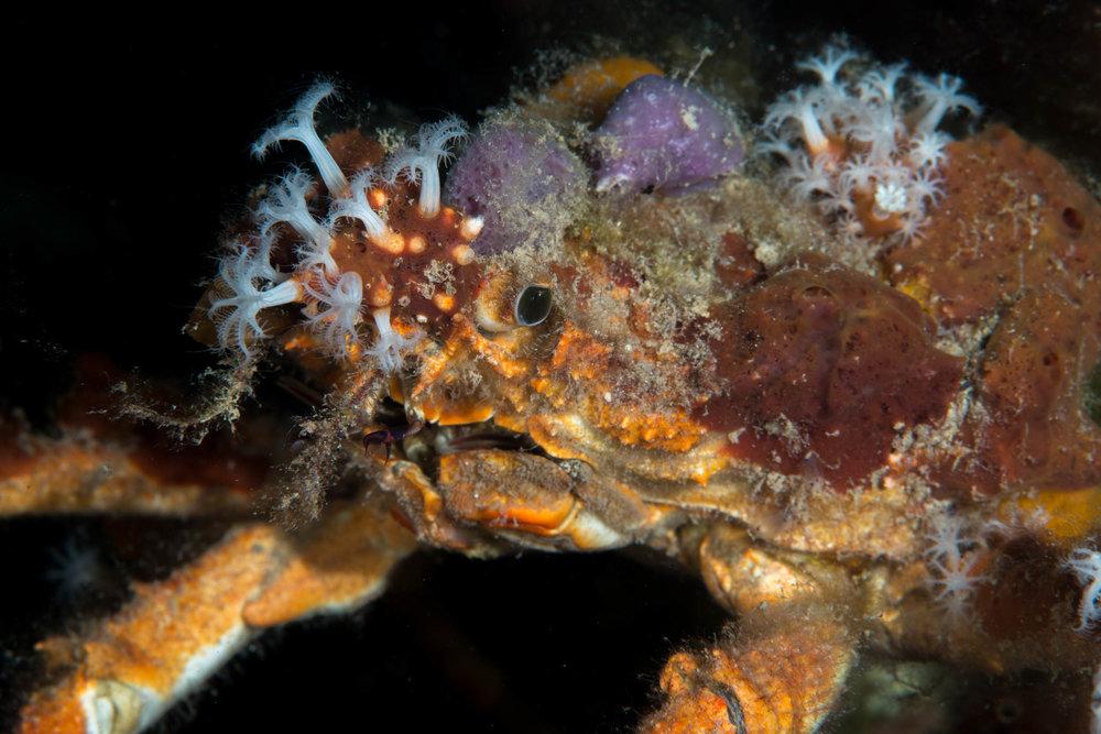 Decorator crab (Schizophrys ?)