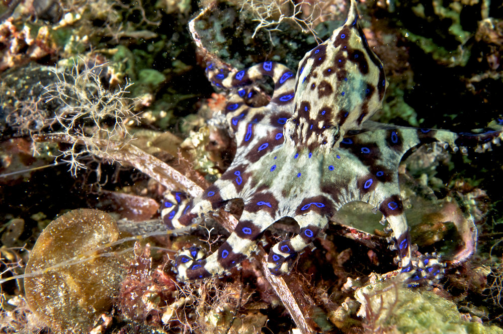 Blue-ring octopus (Hapalochlaena maculosa)