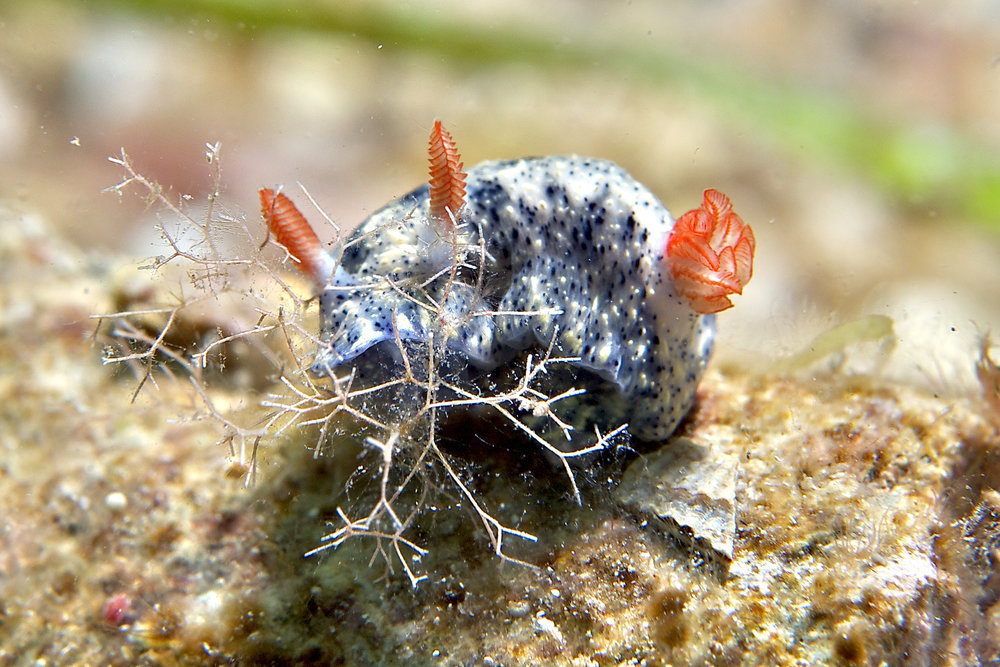 Nudibranch (Hypselodoris infucata)