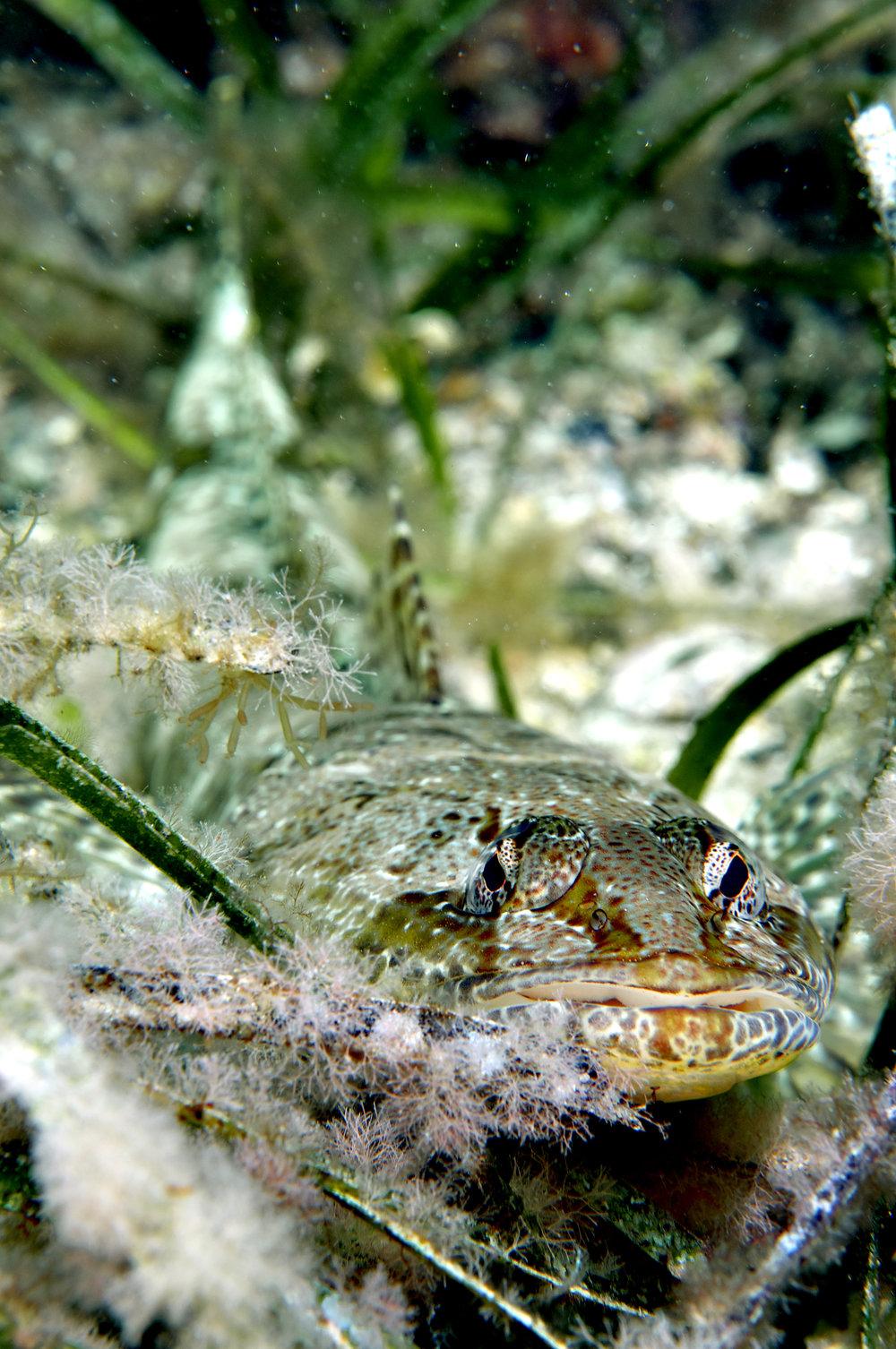 Grass flathead (Platycephalus laevigatus)
