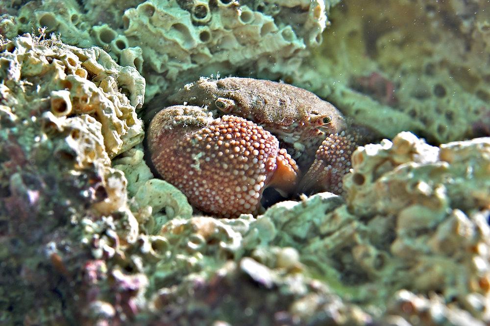 Crab (Actaea calculosa)