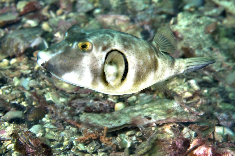 Ringed toadfish (Omegophora armilla)