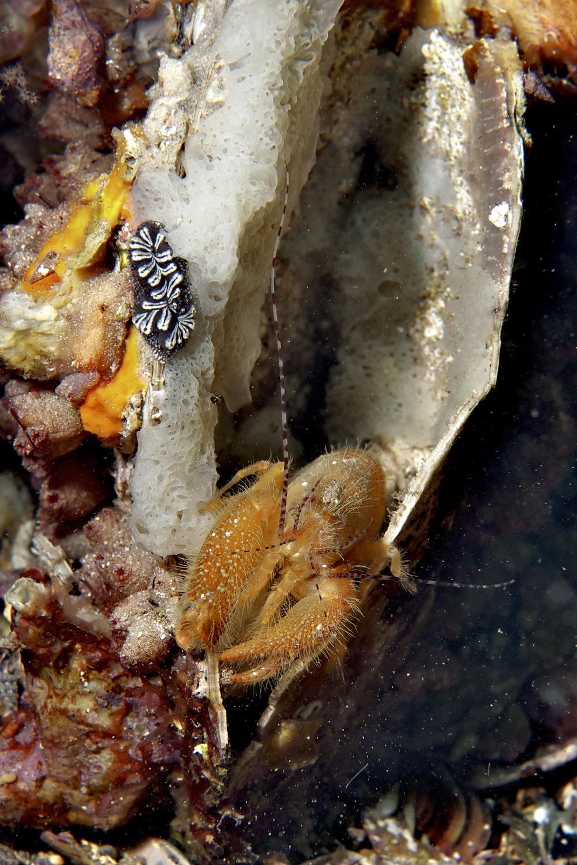 Pistol shrimp (Alpheus villosus)