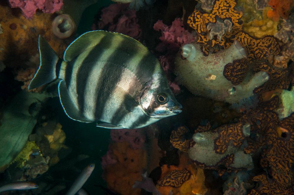 Moonlighter (Tilodon sexfactiatus)