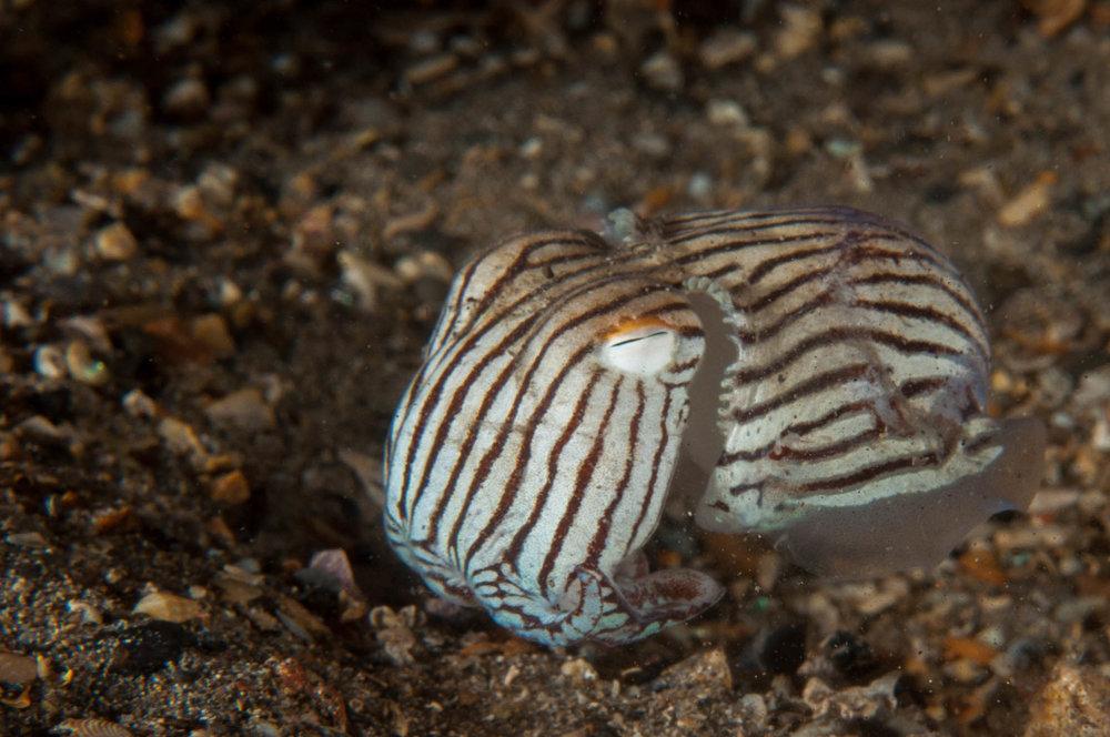 Pyjama squid (Sepialoidea lineolata)