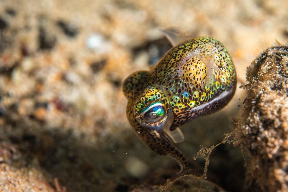 Bobtail squid (Sepiadarium austrinum)