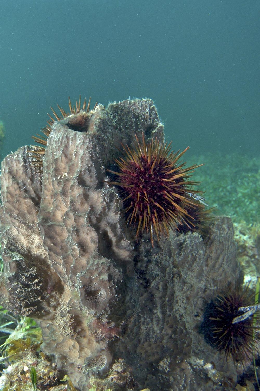 Sea urchin (Centrostephanus tenuispinus)
