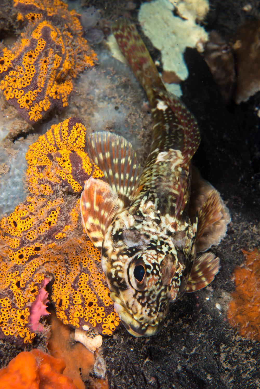Dragonet/Thornfish (Bovichthys angustifrons)