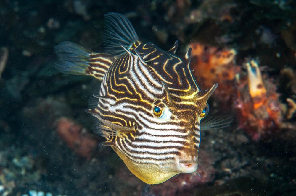 Ornate cowfish (Aracana ornata) female