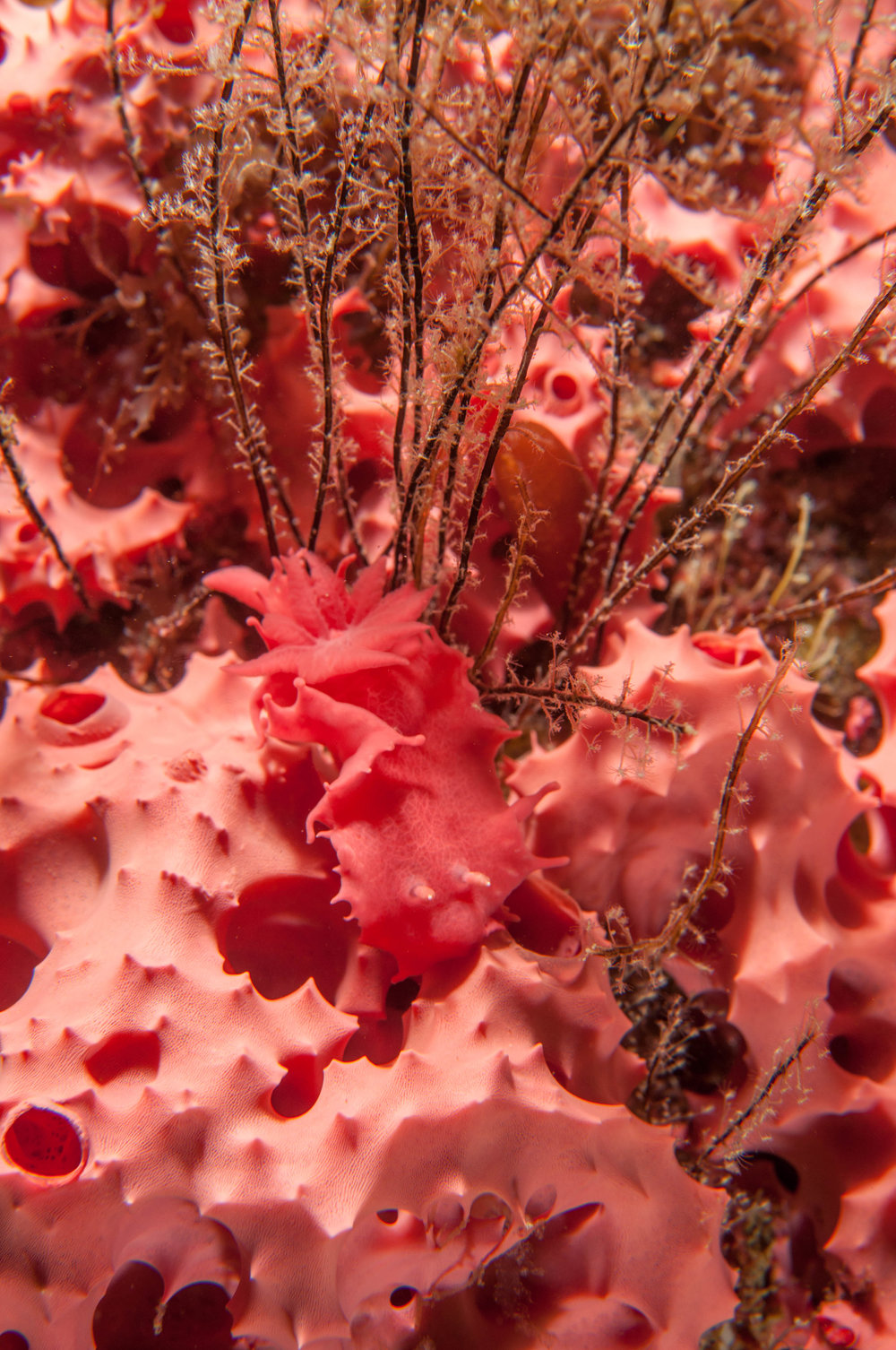 Verco's Verconis nudibranch (Verconia verconis)