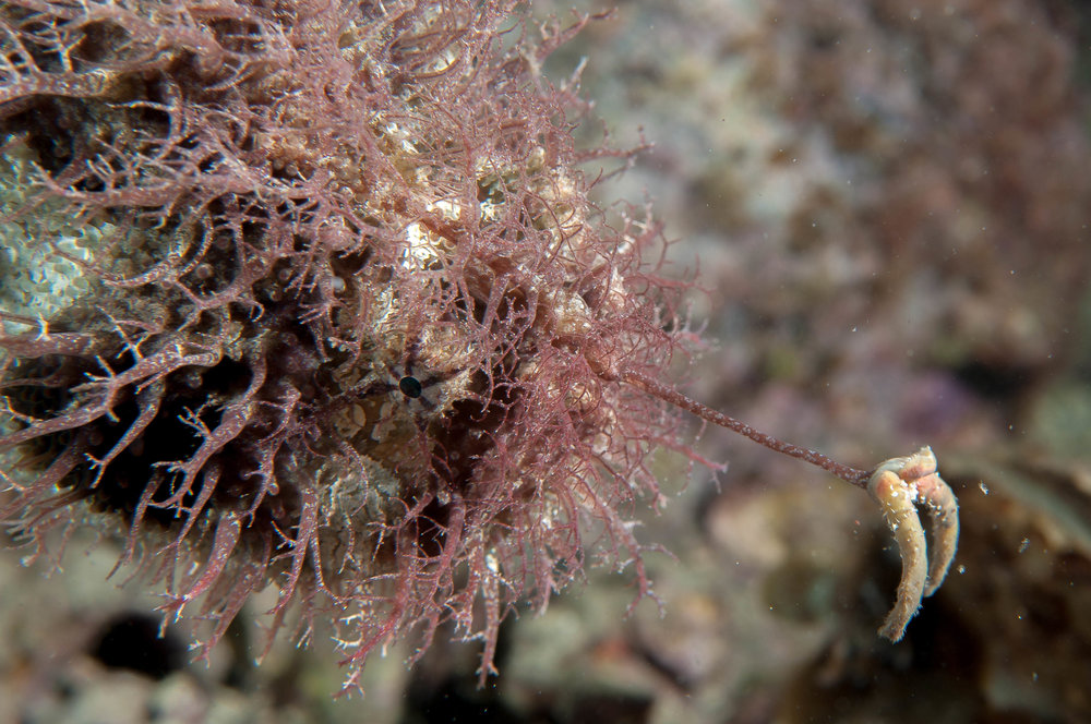 Tasselled anglerfish (Rhycherus filamentosus)