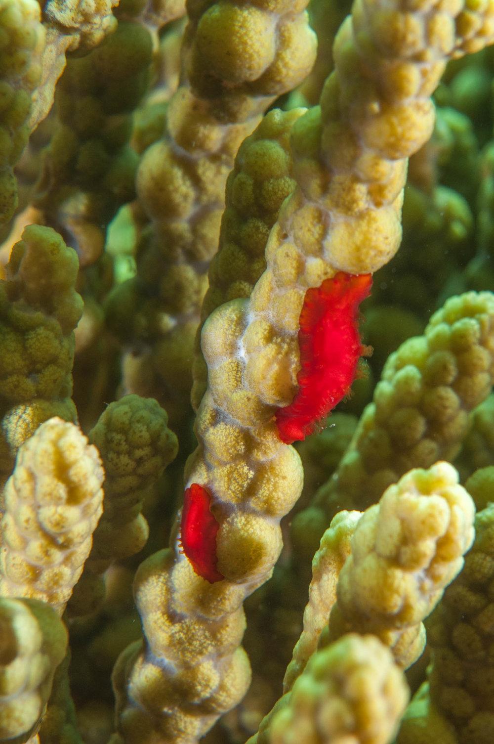 Brown algae (Coeloplana scaberiae)