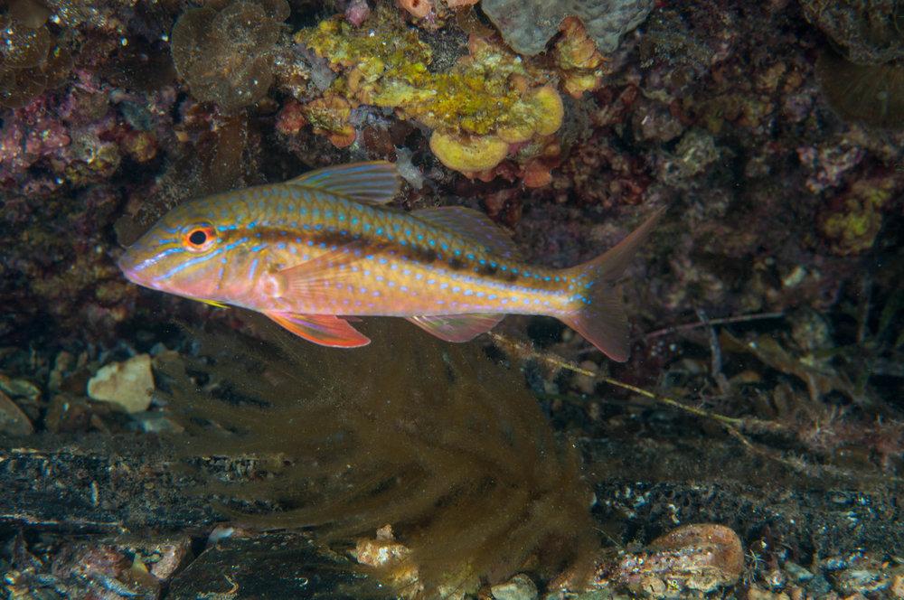 Blue-spotted goatfish or red mullet (Upeneichthys vlamingii)