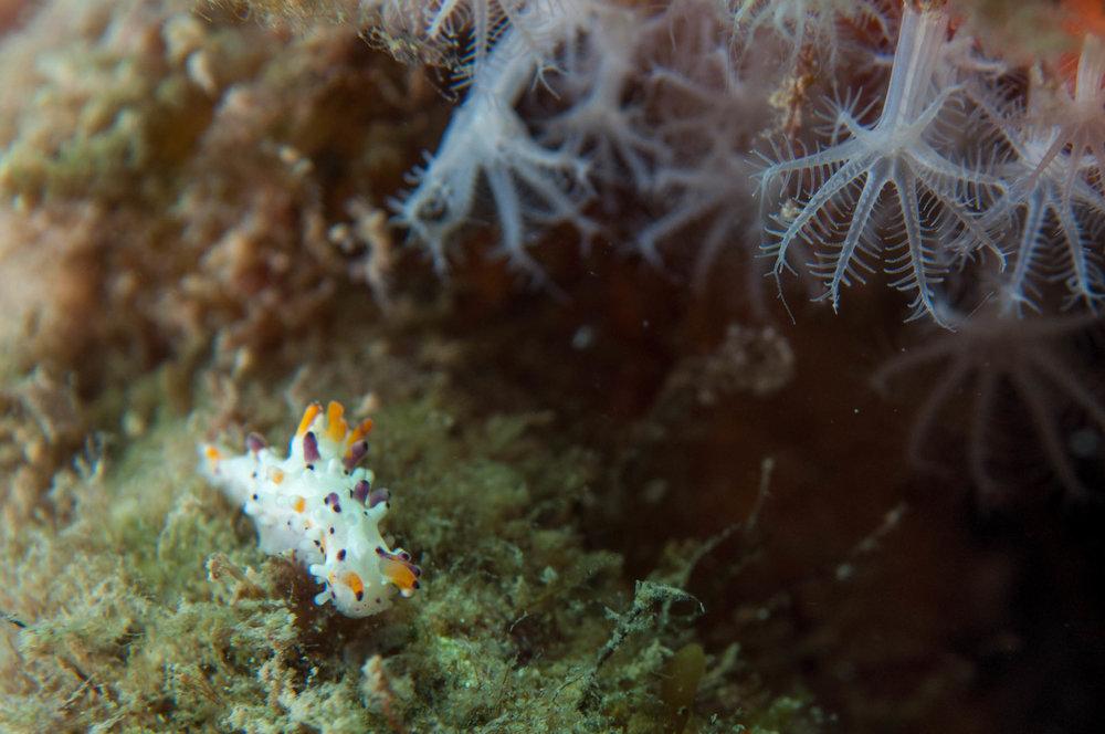 Nudibranch (Aegires villosus)