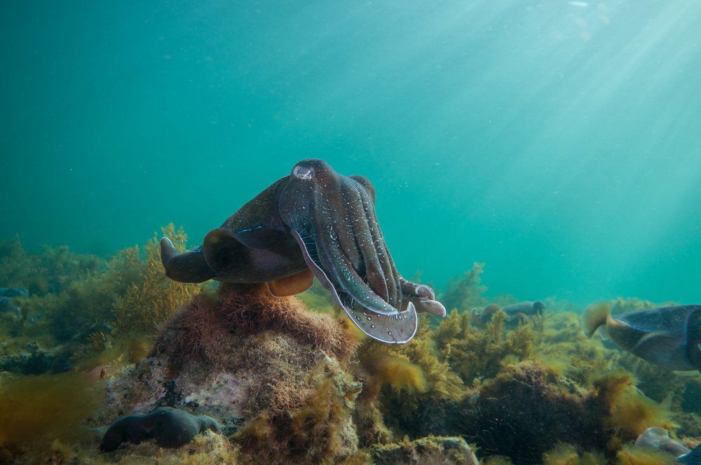 Giant cuttlefish (Sepia apama)