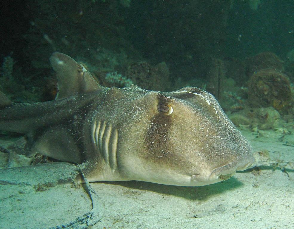 Port Jackson shark (Heterodontus portusjacksoni)