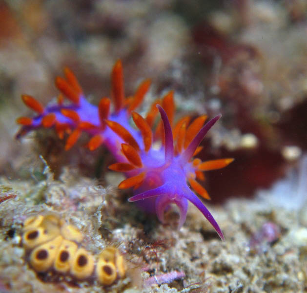 Flabellina sp. RB1 (undescribed)