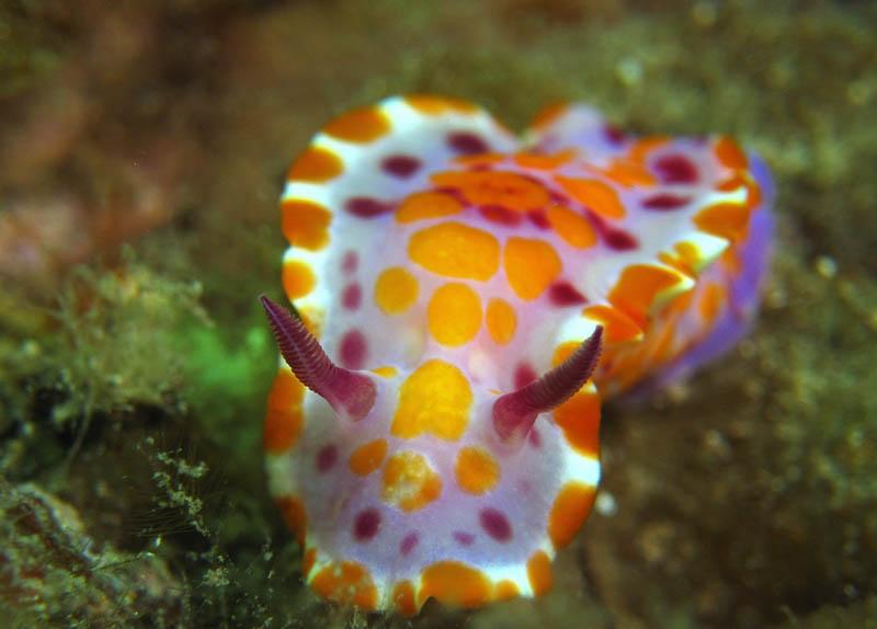 Nudibranch (Ceratosoma ameonum)