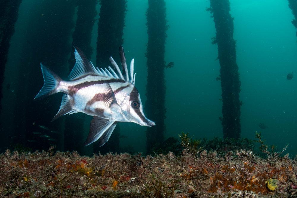Long-snouted boarfish (Pentaceropsis recurvirostris)