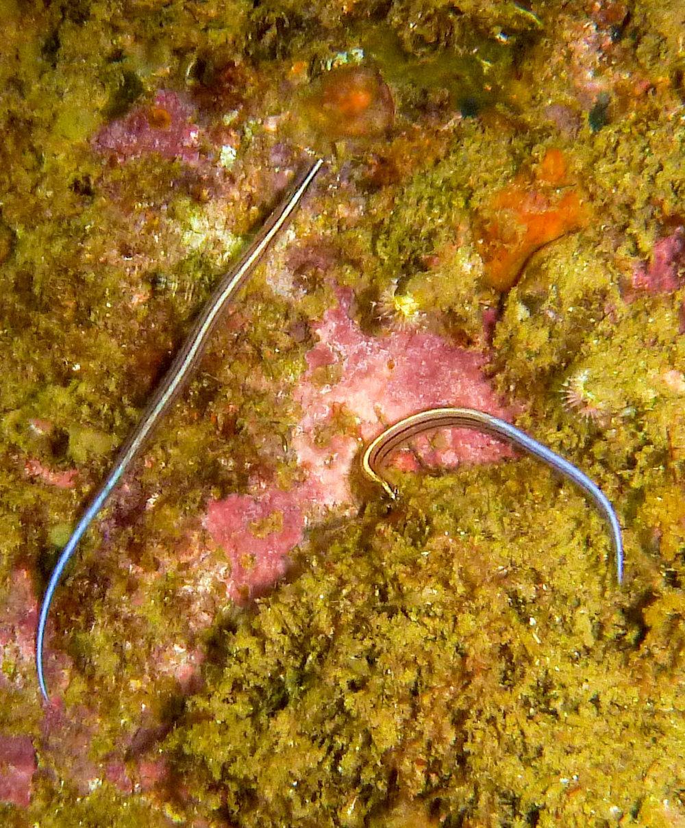 Sawtooth pipefish