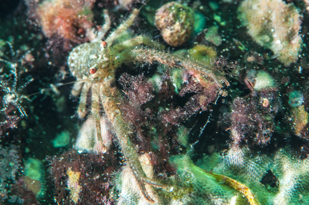 Crab (Galanthea australiensis)