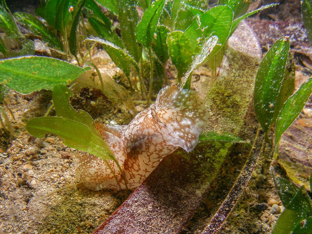 Nudibranch (Phillinopsis head shield)