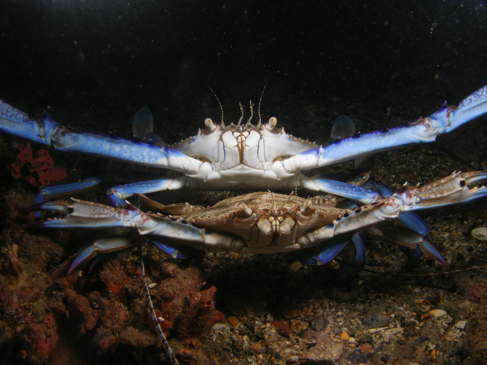 Blue-swimmer crab (Portumus pelagicus)