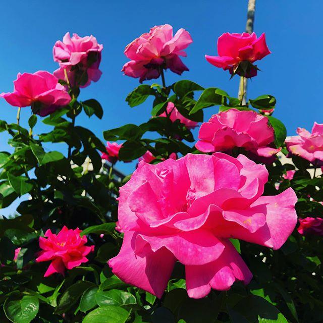 お料理教室の帰りに  お天気が良かったので  千葉の谷津バラ園🌹 に立ち寄ってきました。  今がちょうどオンシーズン❗️ 当たり前だけど、  薔薇、ばら、バラ🌹だらけ❗️ 香りにも癒されました〜