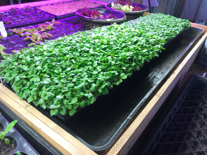 Mircogreens are coming to the WISH Center in January 2019. Come in and meet our Microgreens expert Hayley Powers.
