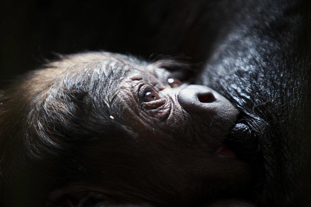 Western Lowland Baby Gorilla