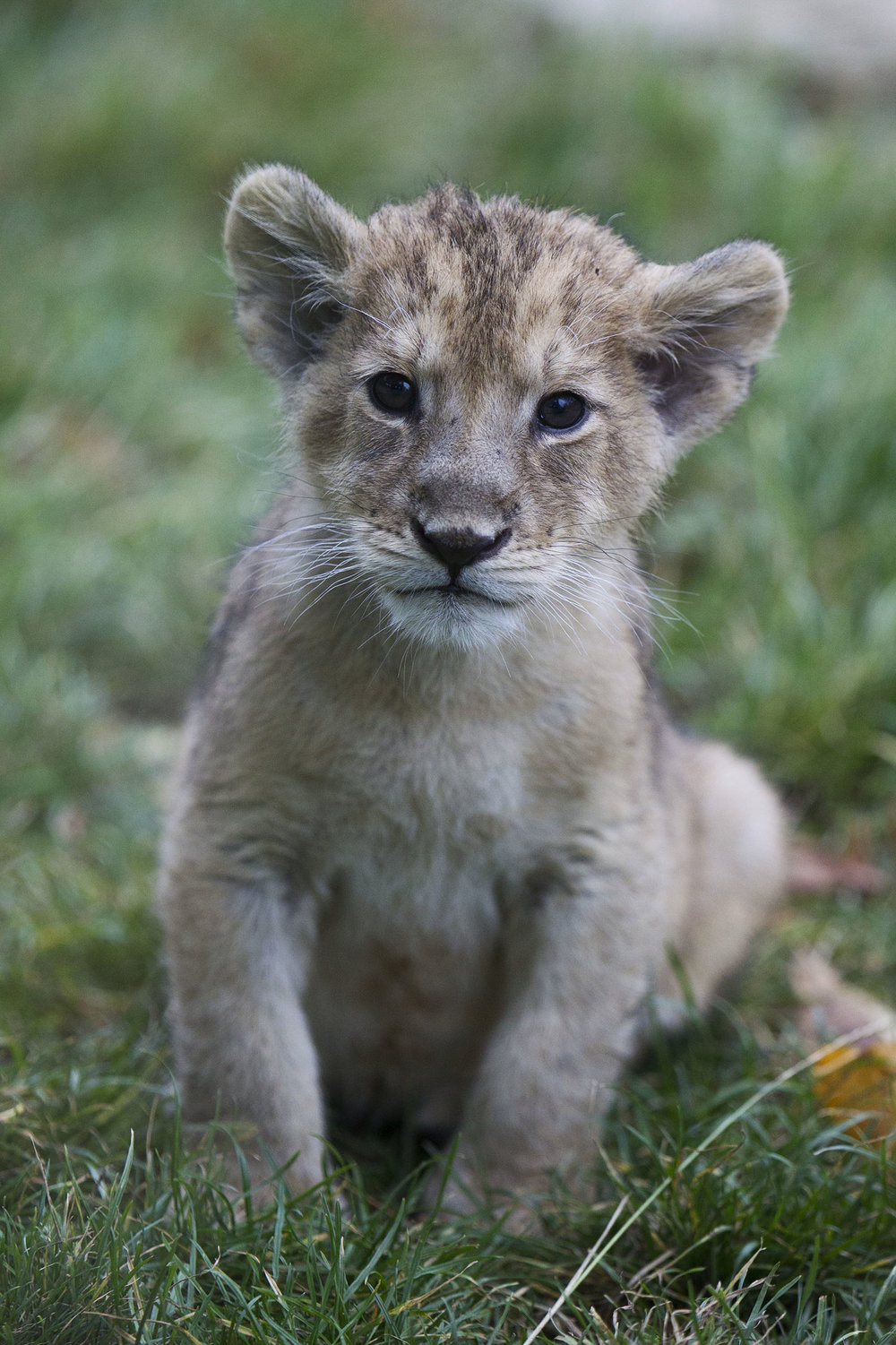 Baby Asian Lion