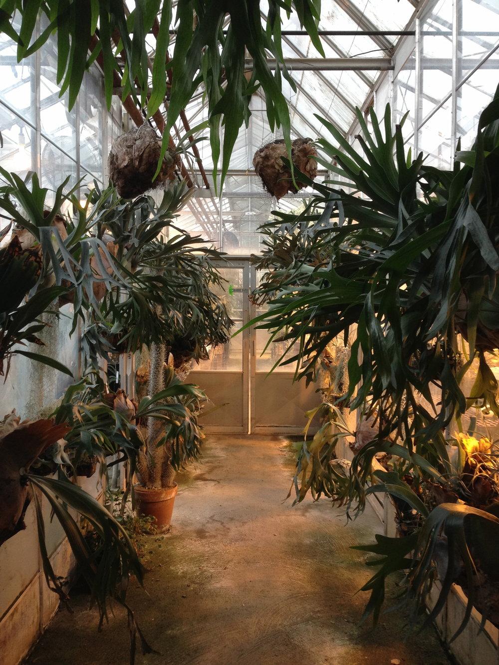 Hall O Staghorns at the UC Davis Botanical Conservatory