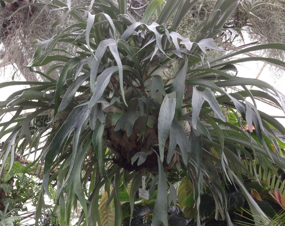 "Platycerium veitchii  ""ball"" growing in the UC Davis Botanical Conservatory"