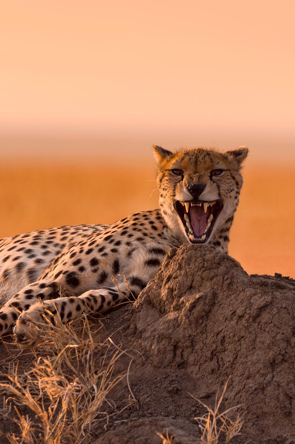 CheetahTeeths_FBed.jpg
