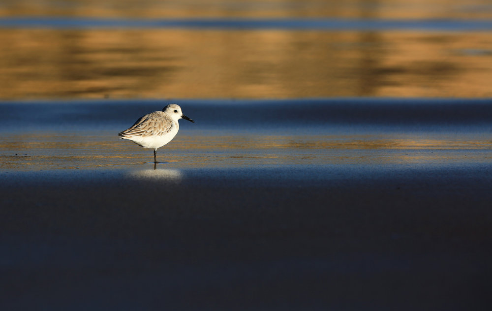 This lone sanderling and I stared at each other for awhile.