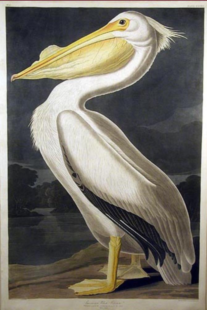 Audubon After Prints