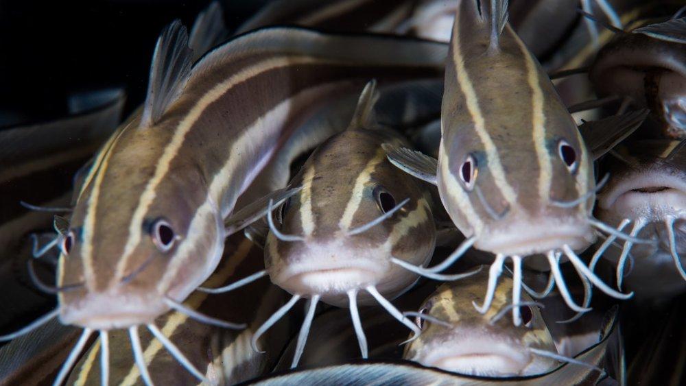 link catfish.jpg