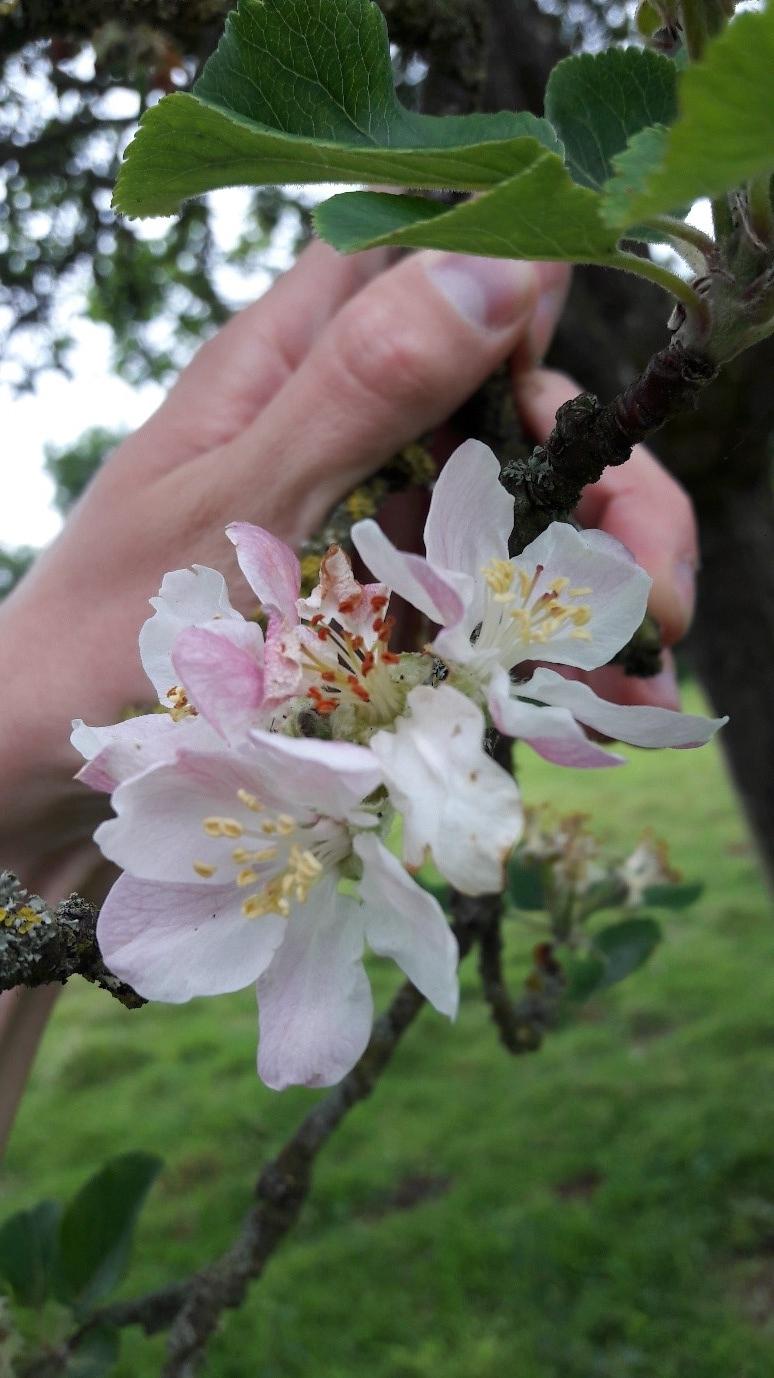Orleton flower.jpg
