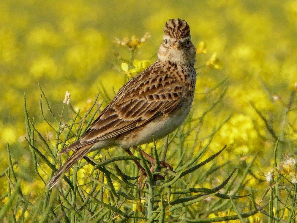 Breeding Birds -
