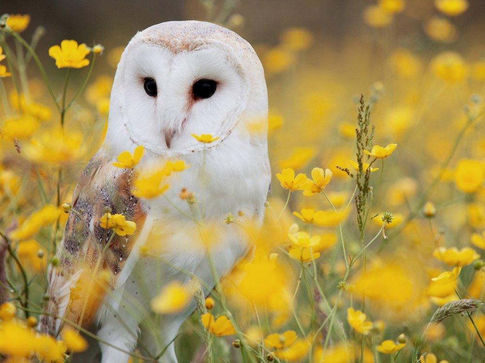 Barn Owls -