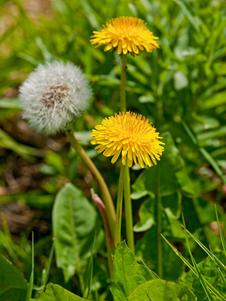 dandelion-growth-love-heart-yoga