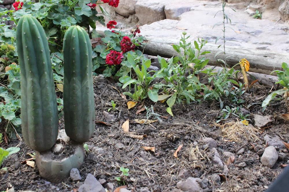 cactus plant medicine blog post