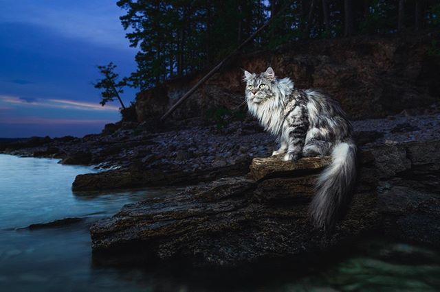 TROPICAL ILLUSION  1/100 Limited Edition Print by Gentle Giants of The Wild | Maine Coons Back in Nature  Printed on Photo Rag® Baryta paper by Hahnemühle.  Shot on Leica S Typ 007 medium format digital.  Photographers: @christina.leebrowning  Maine Coon : US* Kilaueakoons Makai of US*MetatronEyes
