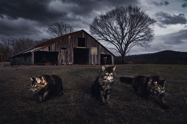 STORM SHELTER  4/100 Limited Edition Print by Gentle Giants of The Wild | Maine Coons Back in Nature  Printed on Photo Rag® Baryta paper by Hahnemühle.  Shot on Leica S Typ 007 medium format digital.  Photographers: @christina.leebrowning  Maine Coons by: @metatroneyes_maine_coons