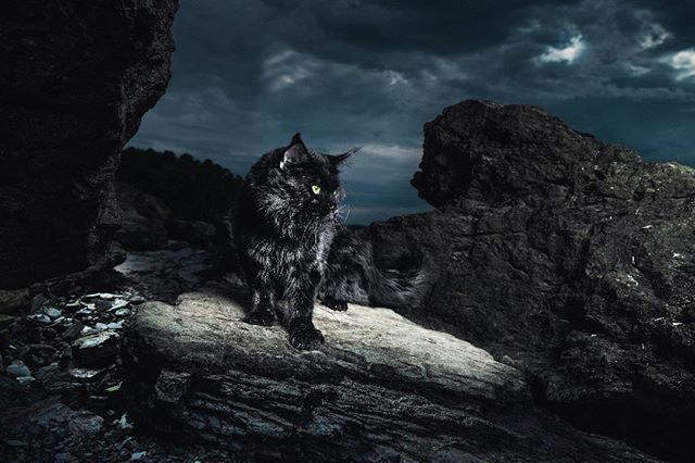BLACK SLATE — Black cats are usually thought of as a bad omen; as something evil — yet as we all know, they are magically beautiful creatures with not a mean bone in their body.  This picture, however, perfectly showcases their dark and mysterious beauty.  It is one of our most difficult pictures of the project. It is extremely challenging to photograph a black cat in environmental photography, but even more difficult to make it blend in a dark location — to keep a texture in the surroundings, for there to be color contrast so it is not too bland.  We absolutely love the Maine Coon's pose, like he is walking through the rocks so fierce and yet so peacefully — so certain about himself. The light underneath him is like a spotlight coming through the small opening in the stormy clouds that form above him.  3/100 Limited Edition Print by Gentle Giants of The Wild | Maine Coons Back in Nature  Printed on Photo Rag® Baryta paper by Hahnemühle.  Shot on Leica S Typ 007 medium format digital.  Photographers: @christina.leebrowning  Maine Coons by: @metatroneyes_maine_coons