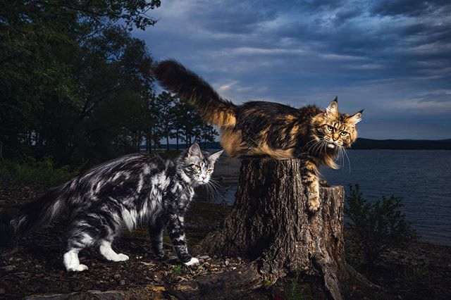 PRECIOUS METALS —  This picture showcases the brown classic tabby, as well as the silver classic tabby. How can you decide which one is prettier? Not possible - they're both majestic and unique. Both have color contrast with the environment in different ways; one is more warm, the other more cold.  We thought it would be interesting - as well as color contrasting with each other - to include them both in the same picture, side by side.  This is the first print of this series where we wanted the main focus to be on the actual subjects; due to the strong antithesis of colors between them. We love how the brown Maine Coon has a powerful stance, ready to jump off the tree trunk - and how the silver's body is positioned, expressing reluctance, but it's face still trained in concert with the direction of the other's gaze.  1/100 Limited Edition Print by Gentle Giants of The Wild | Maine Coons Back in Nature  Printed on Photo Rag® Baryta paper by Hahnemühle.  Shot on Leica S Typ 007 medium format digital.  Photographers: @christina.leebrowning  Maine Coons: US*MTNest Simone of MetatronEyes & RU*GreyClaws Kicky of MetatronEyes