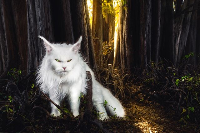 WILLFUL LIGHT  We placed the cat purposely in front of a dark area — yet we also felt it important to keep some detail in the trees — so that she gives a strong contrast with her white fur.  There is a natural vignetting and framing, via the thick mass of cypress trees. When we saw the golden light piercing through, we knew this had to be the point of interest for the picture. The glowing light gives an otherwise scary and cold environment a sense of warmth. The light could represent hope, or a way to a better life. It builds a natural walkway in the foreground, and it is up to the subject to decide which way to follow.  The cat's fierce expression can imply multiple things depending on the viewer's perception. For us, since we know the cat's personality — it implies will and determination to find her way out of this haunting area. Her pose shows that she could be moving around, towards the light.  For others though, it could easily make the cat seem like a mythical beast lurking through the area; trying to escape the light and disappear into darkness.  It was a very challenging photo to edit —trying to keep all the different color tones balanced and in harmony with each other.  1/100 Limited Edition Print by Gentle Giants of The Wild | Maine Coons Back in Nature  Printed on Photo Rag® Baryta paper by Hahnemühle.  Shot on Leica S Typ 007 medium format digital.  Photographers: @christina.leebrowning  Maine Coons: @metatroneyes_maine_coons