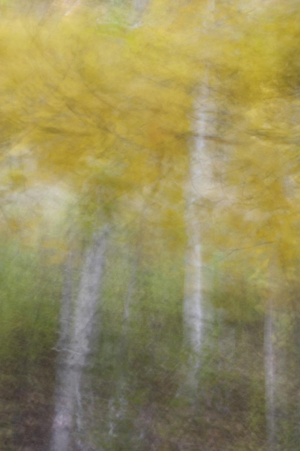 Birch Grove No. 2  by John Clarke
